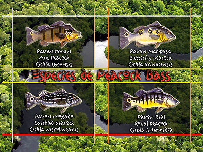 peacock-bass-p